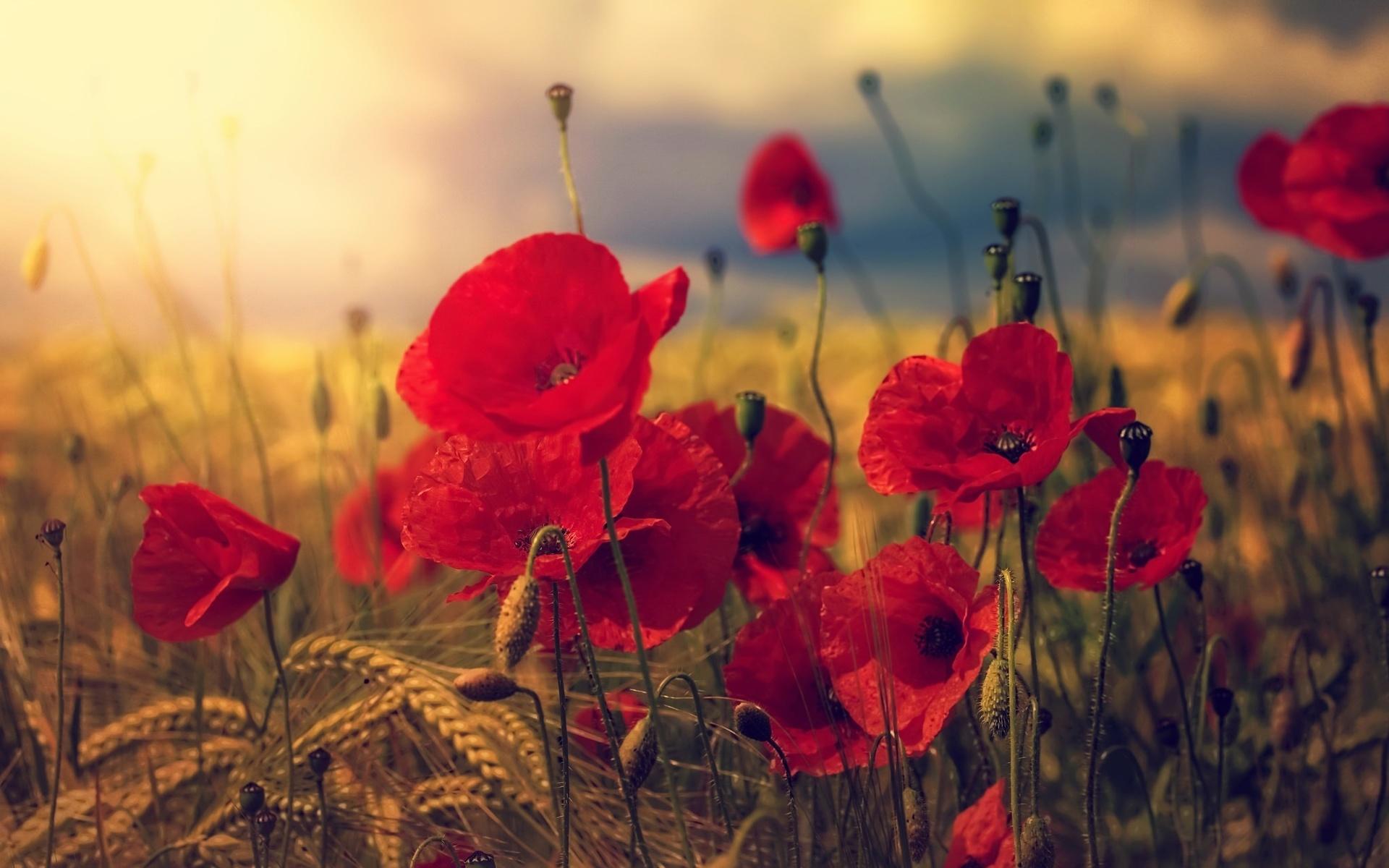 природа, лето, поле, колосья, цветы, маки