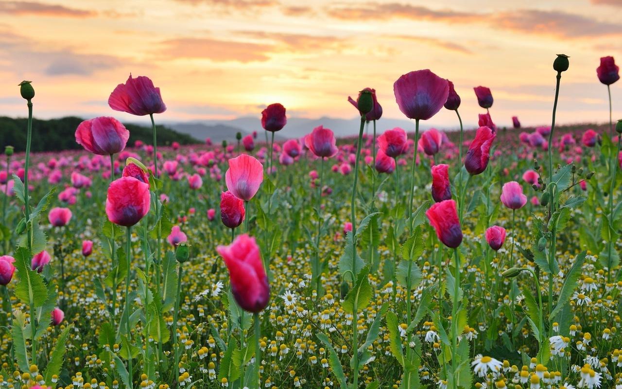 природа, лето, поле, цветы, маки, ромашки, небо, закат