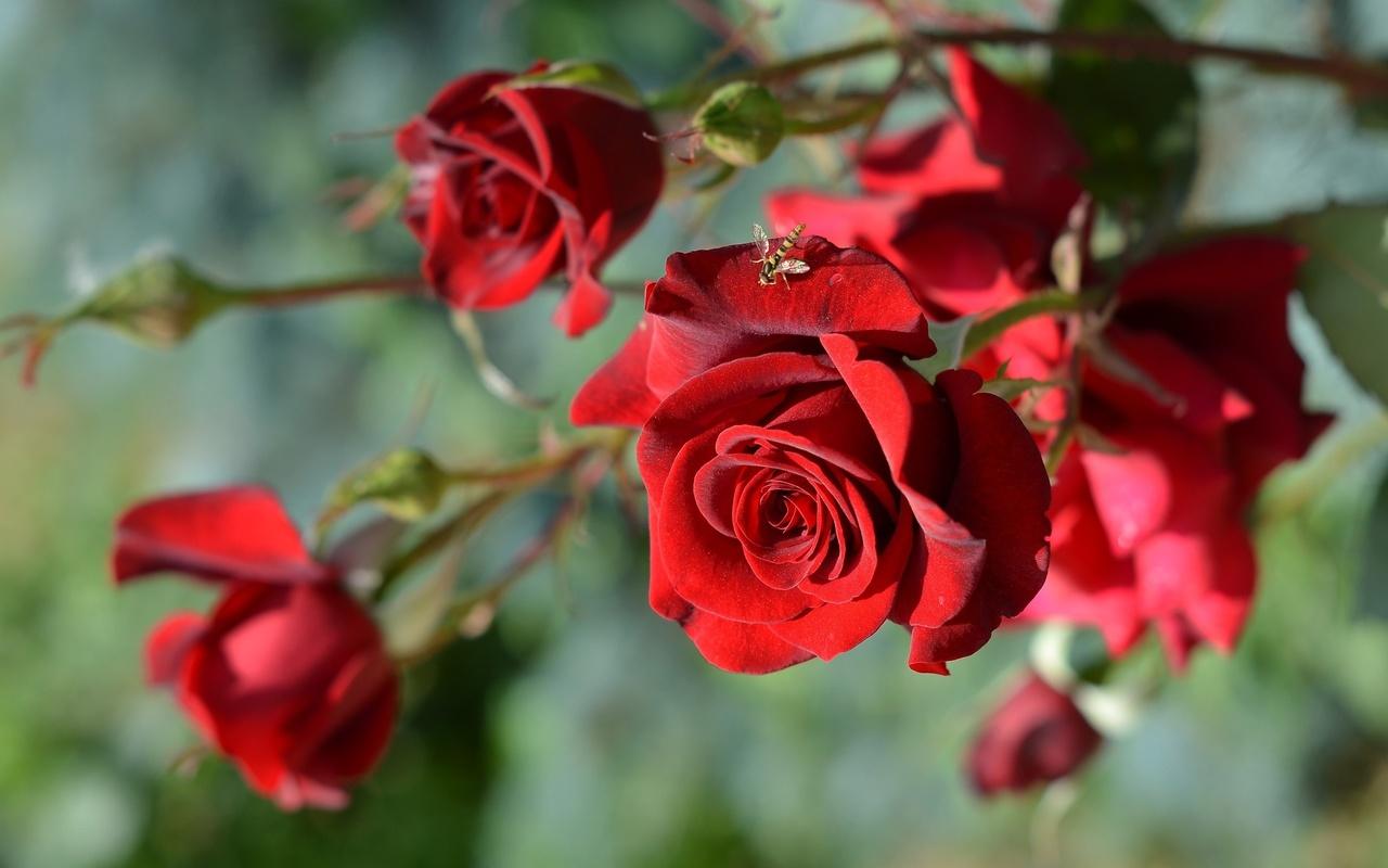 ветка, цветы, розы, бутоны, макро, муха