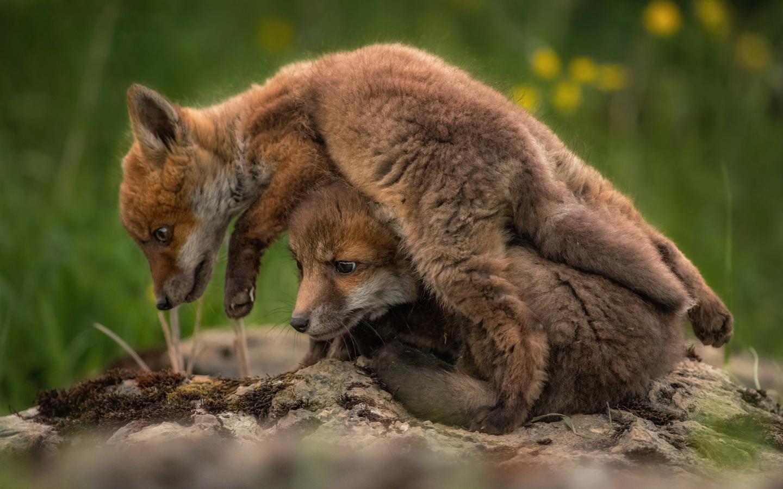 животные, лисята, детёныши, парочка, природа, игра