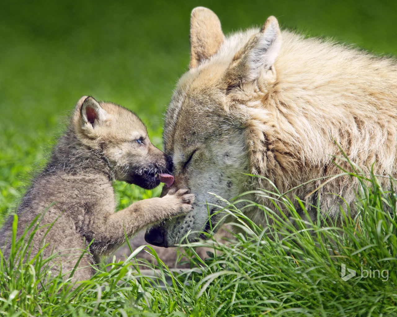 животные, хищники, волки, волк, волчица, волчонок, детёныш, природа, лето, трава