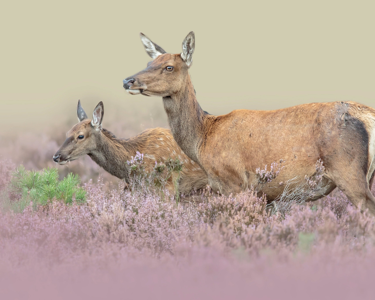 животные, олени, пара, природа