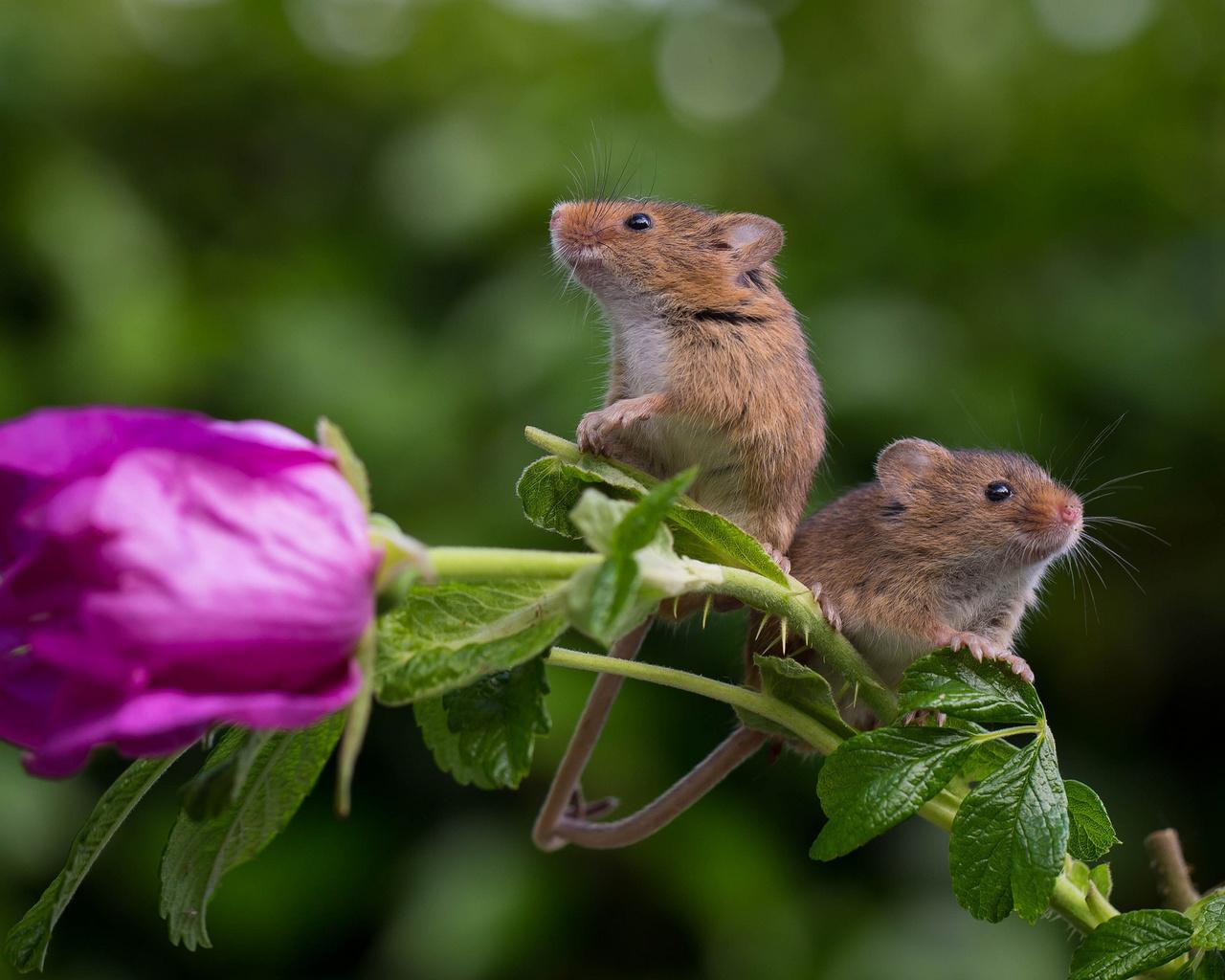 животные, зверьки, грызуны, мыши, пара, мышки, цветок, роза, боке