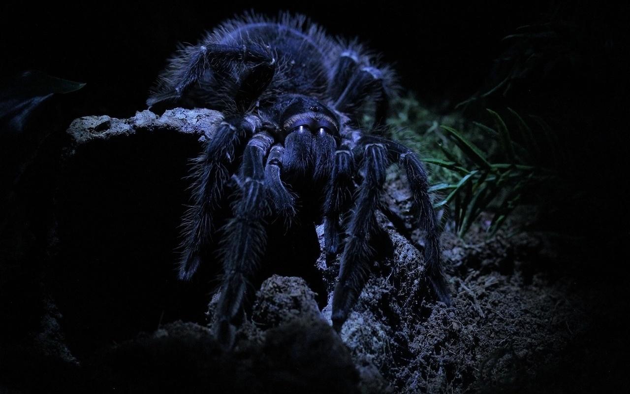 макро, паук, тарантул