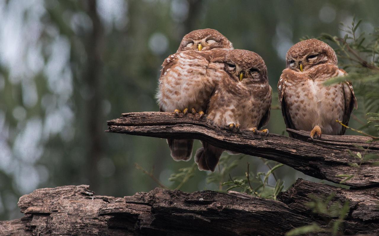 птицы мира, птицы, совы, троица, природа, коряга, сон