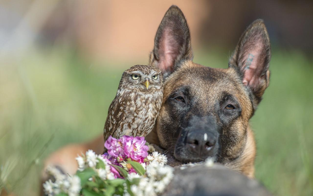 tanja brandt, овчарка, птица, морда, пёс, сова, собака, животное, цветы