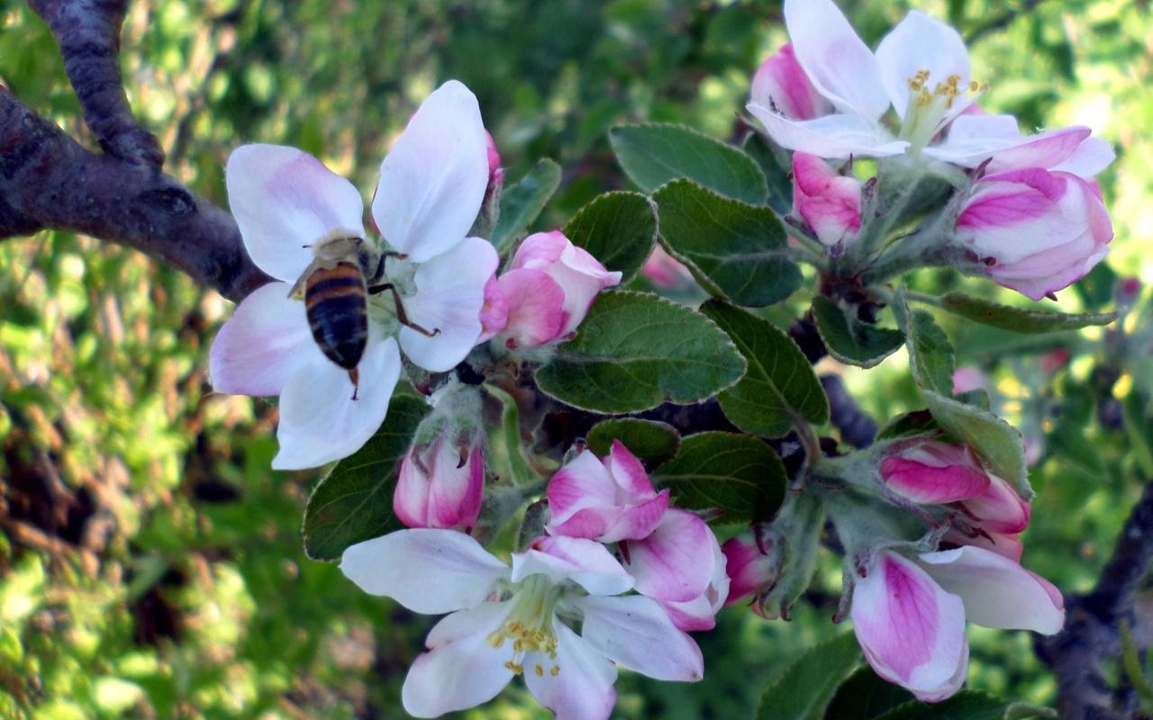 апрель, яблоня, пчела