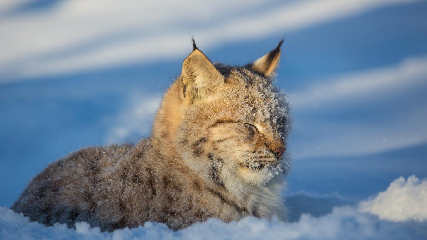 морда, снег, зима, рысь, хищник, дикая кошка