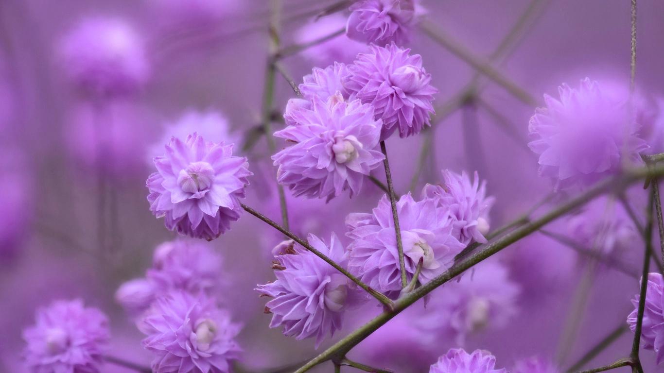 ann elliott, ветки, цветочки, василистник