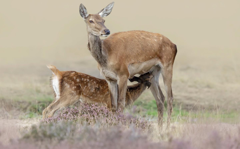 животные, олени, оленёнок, детёныш, кормление, природа, трава