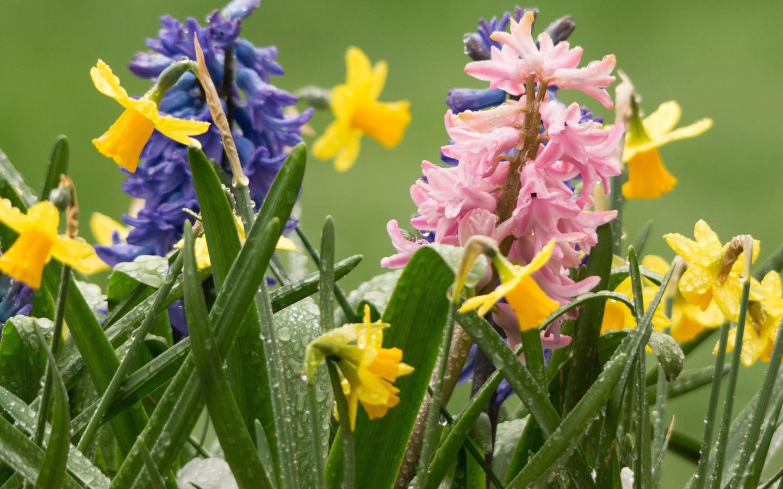 весна, цветы, нарциссы, гиацинты, капли, вода