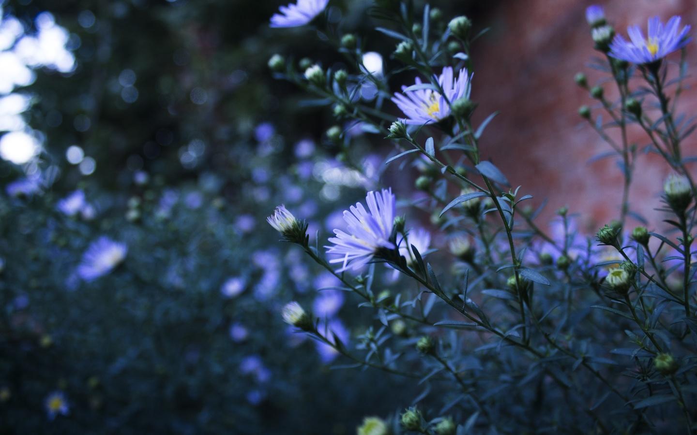 голубые цветы, цветы, природа