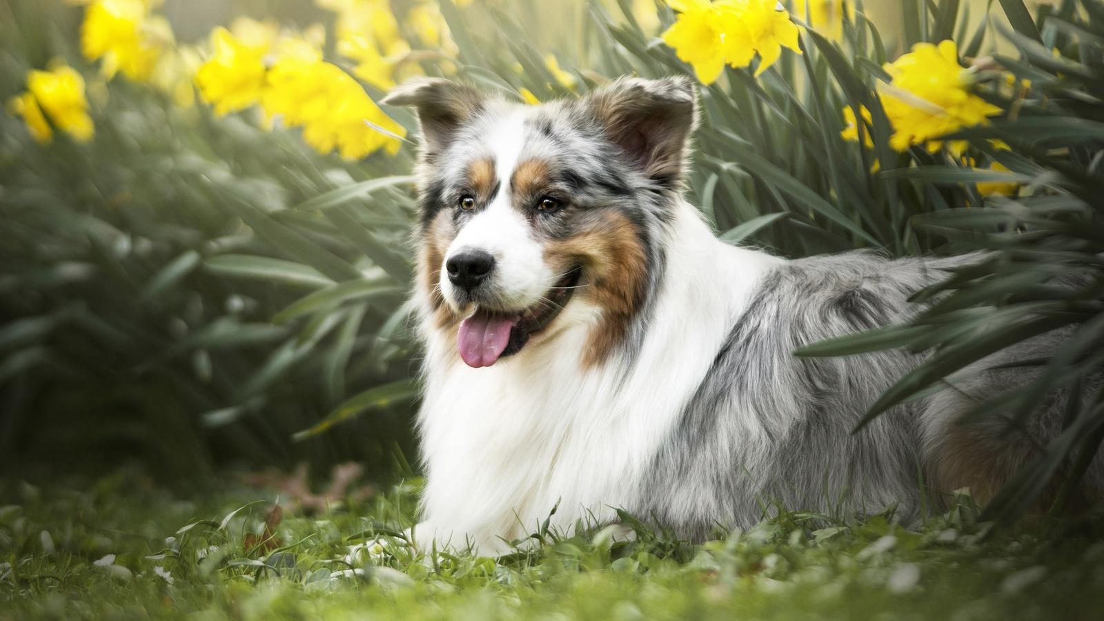 животное, собака, пёс, нарциссы, цветы, аусси, австралийская овчарка, природа, весна