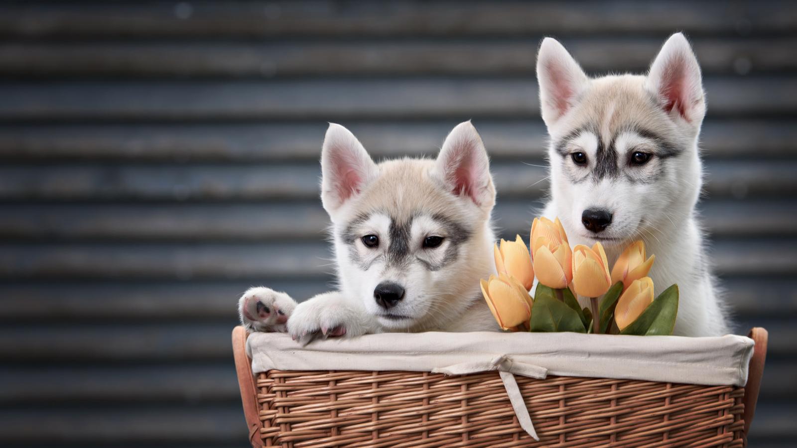 животные, собаки, щенки, щенята, хаски, пара, корзина, цветы, тюльпаны