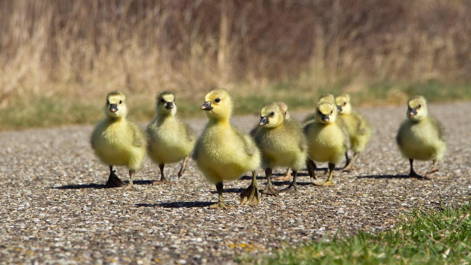 цыплята, птицы, гусята