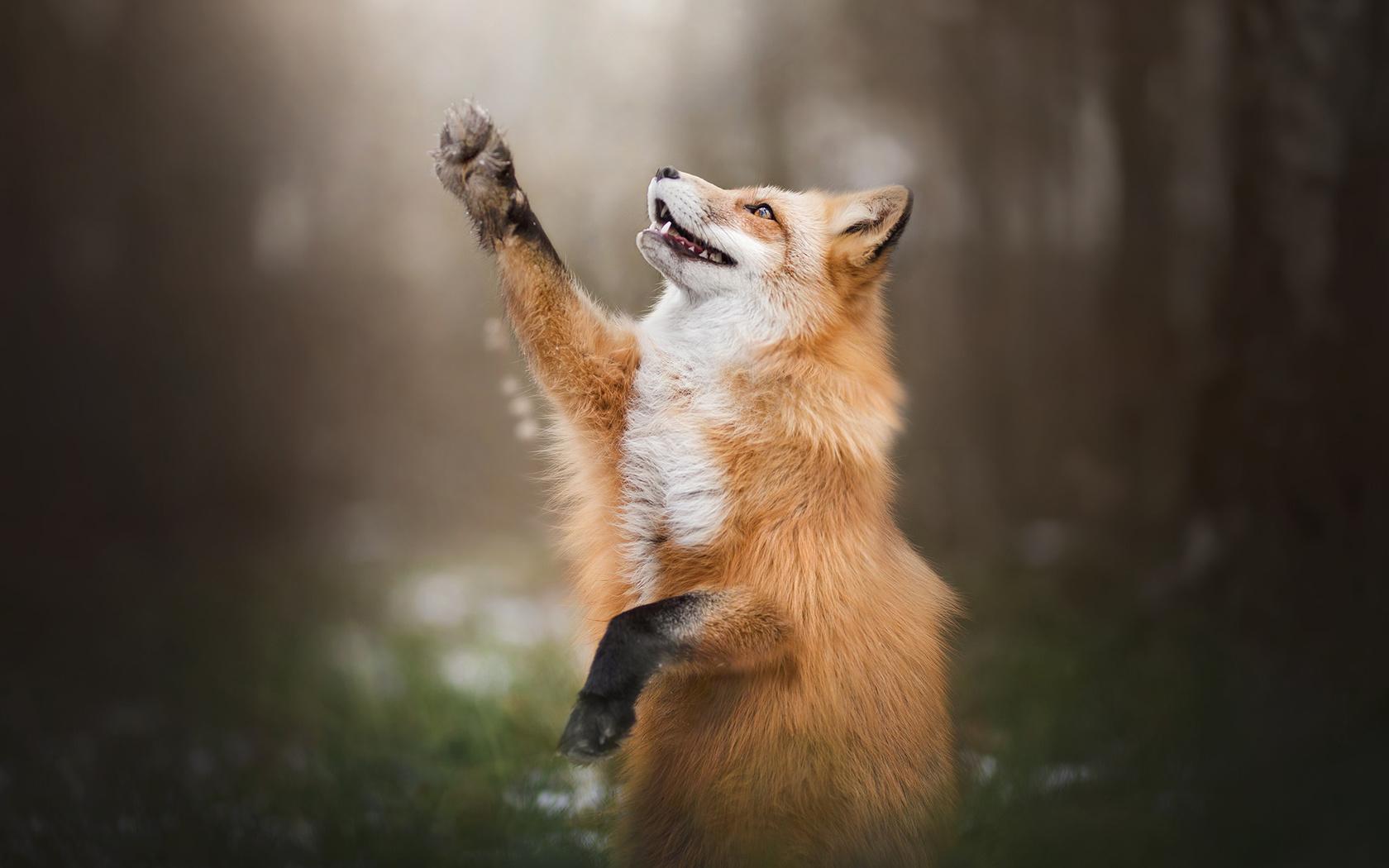 alicja zmyslowska, животное, лиса, лисица, лапа, природа, лес, макро