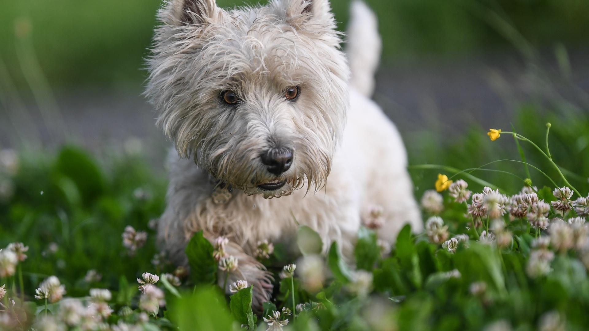pamela buehler, животное, собака, пёс, природа, трава, цветы, клевер