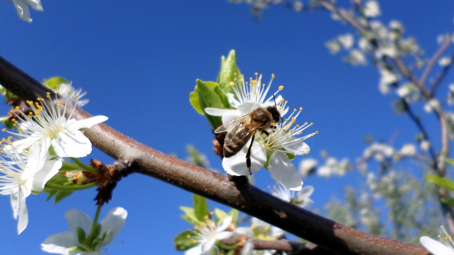 апрель, пчела, слива