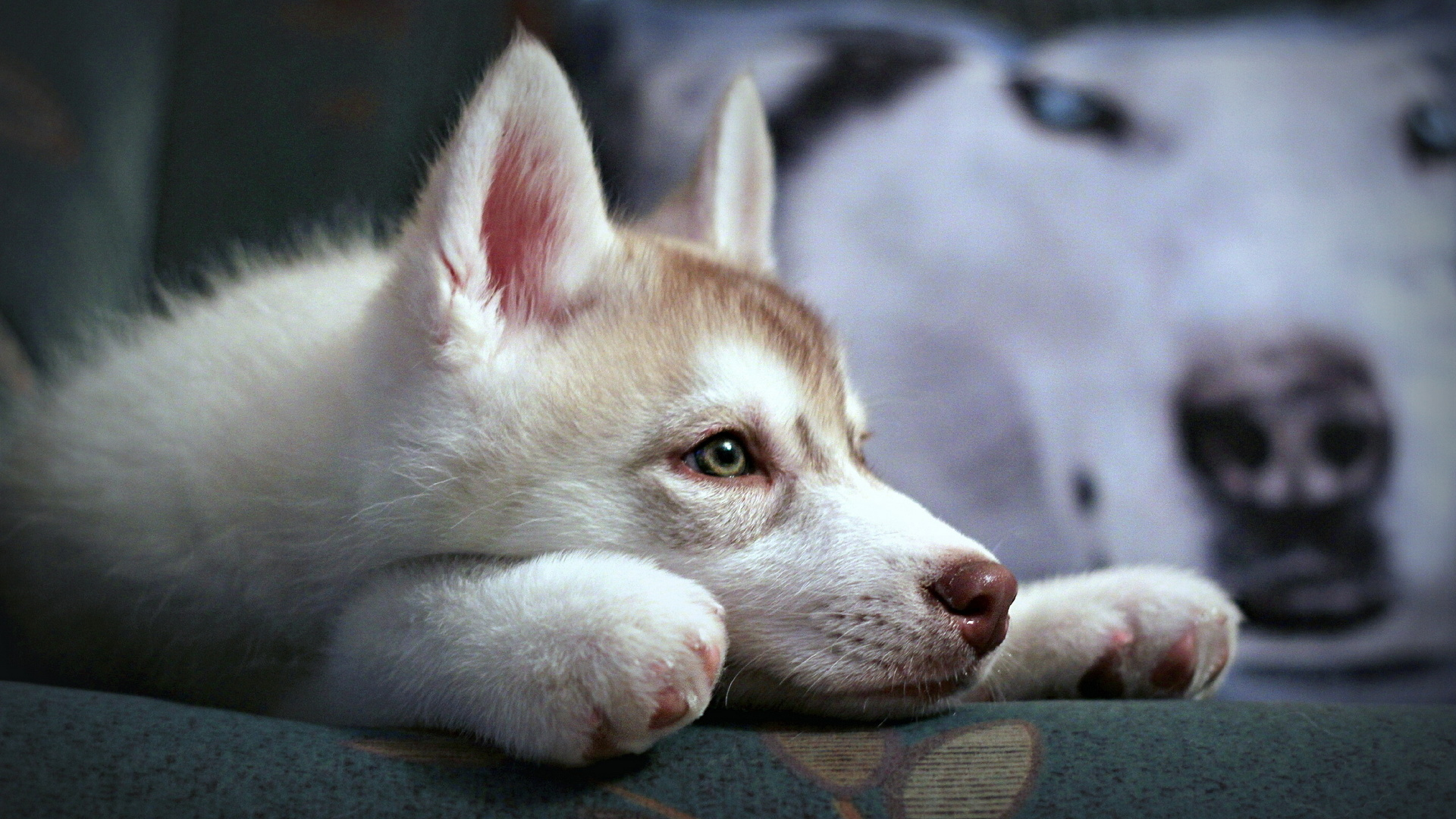 животное, собака, щенок, хаски, морда, лапы