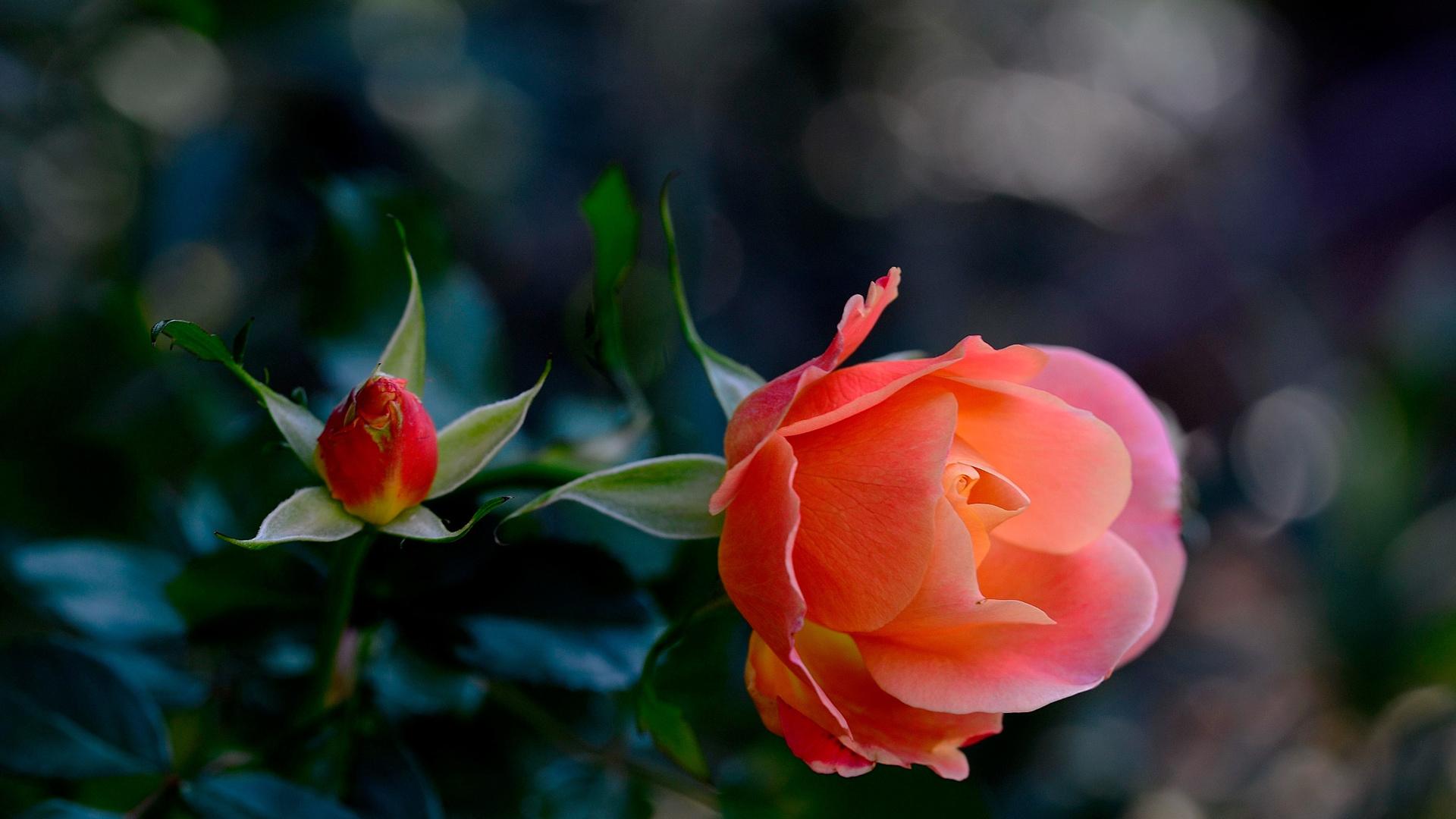К чему снятся розы: толкования снов про розы белого, красного, розового цвета или других оттенков.