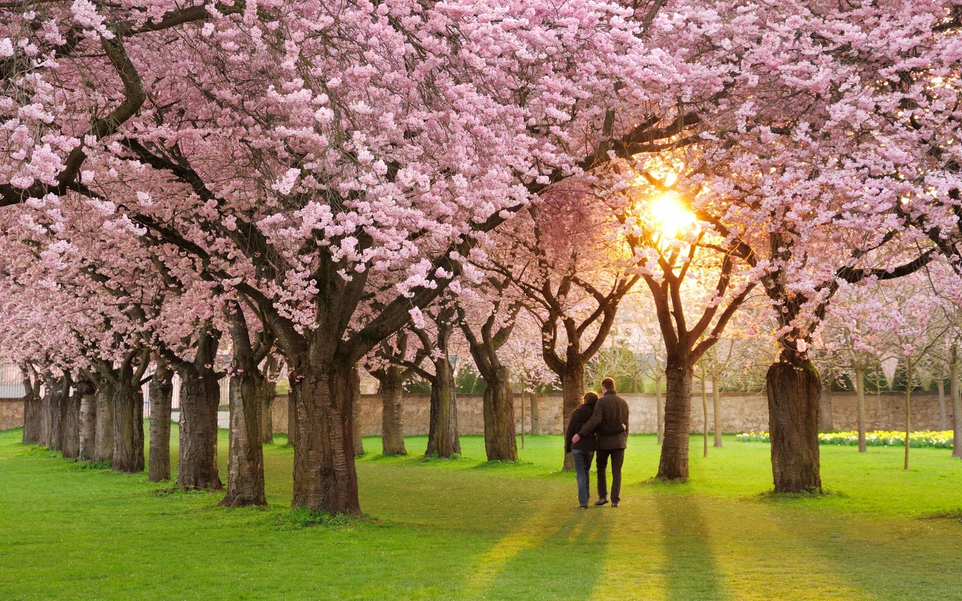 сакура, весна, люди, любовь