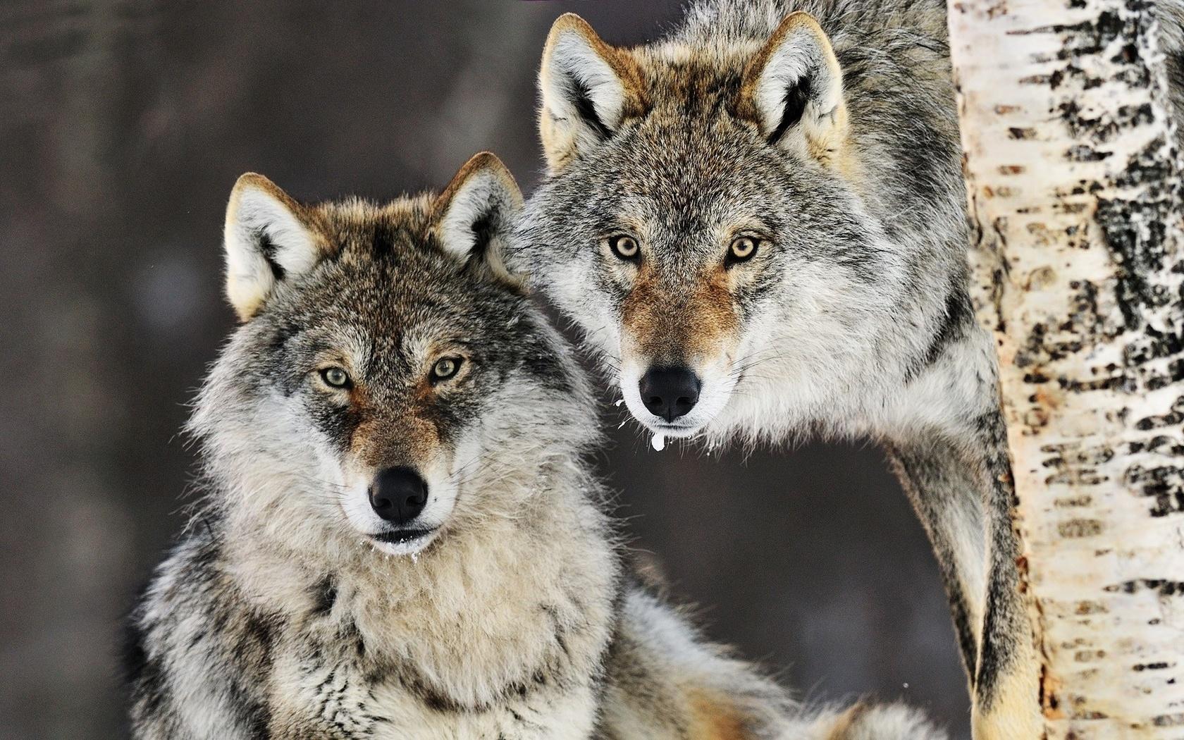 Девушка, волки фото картинки красивые