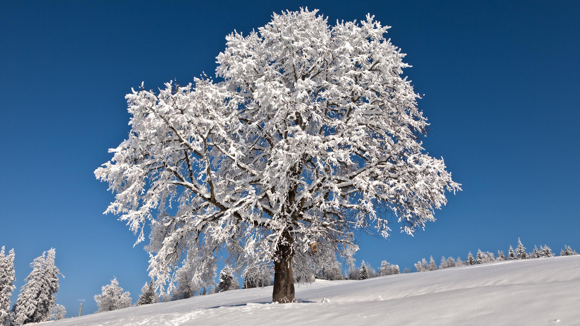 Днем шефа, картинки деревья в снегу зима
