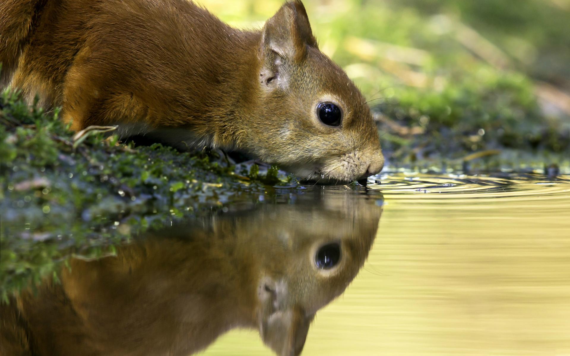 животное, зверёк, белка, вода, жажда, отражение