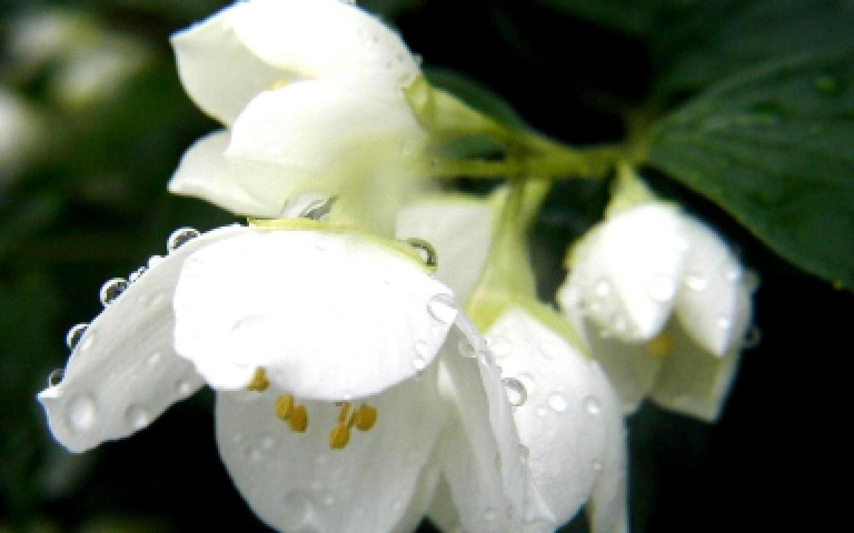 макро, цветок, жасмин, листья, стебель, лепестки, белые, роса, тычинки, желтые