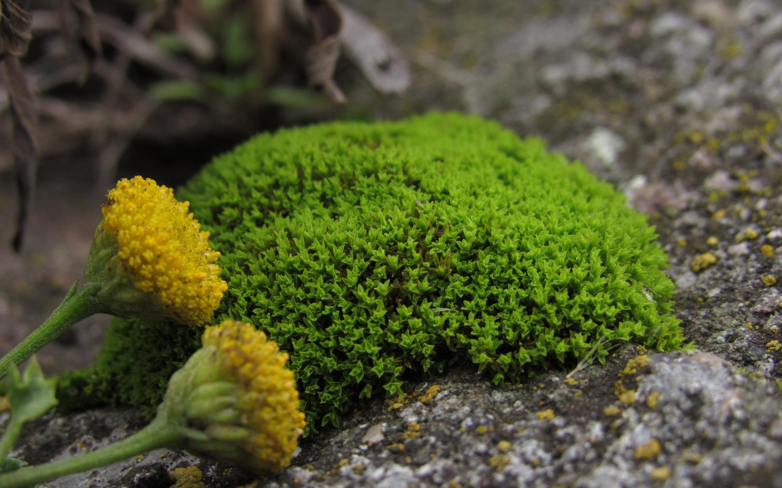 Разновидность цветущего мха фото