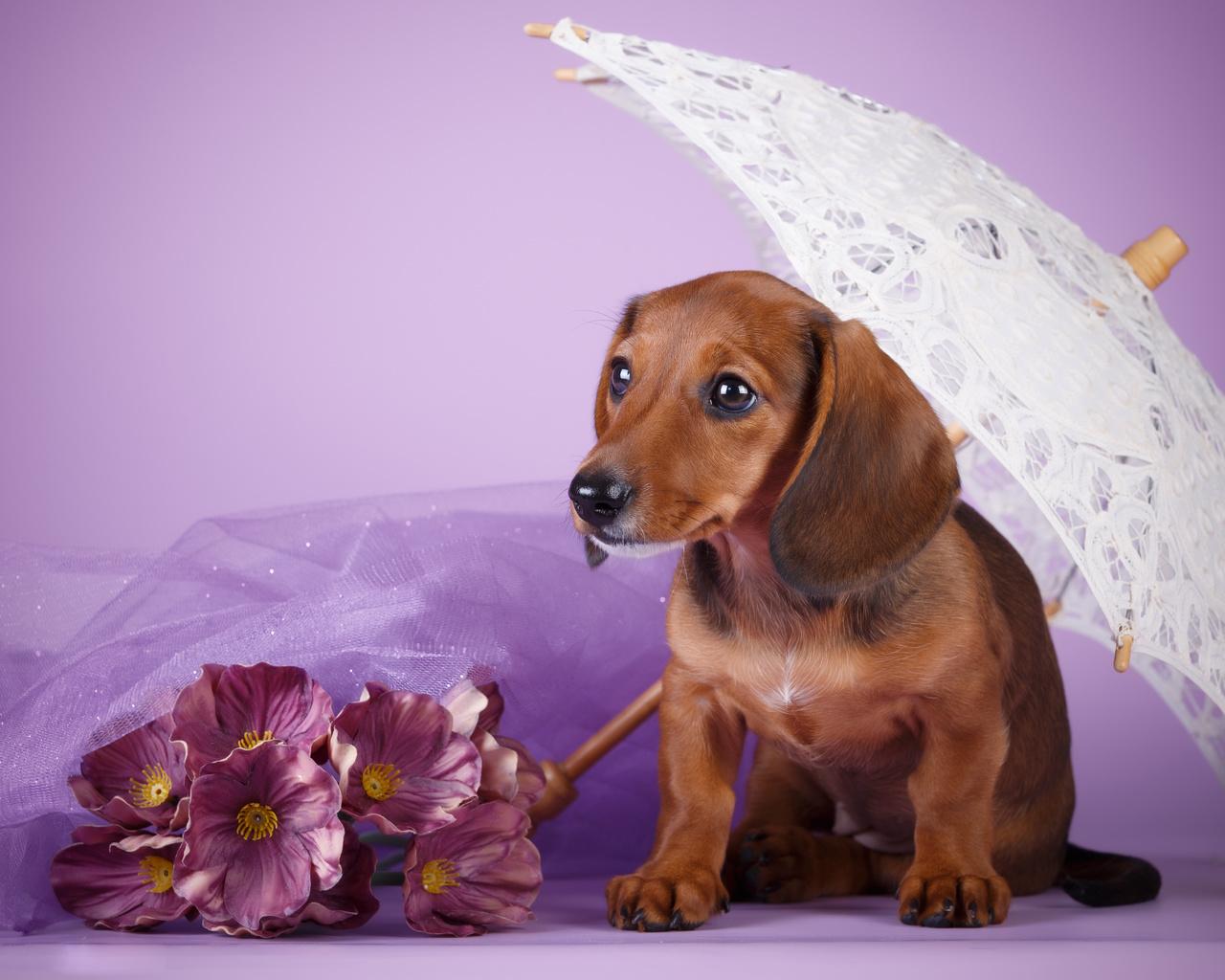 собака, пёс, щенок, такса, ткань, цветы, зонт