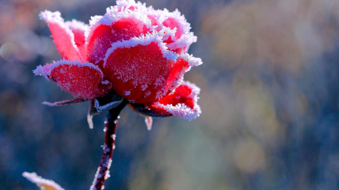 Картона, цветы на снегу картинки с подписями