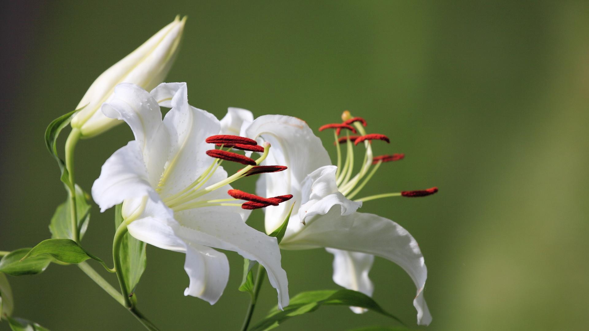 природа, лилии, цветы, макро, белый, бутон