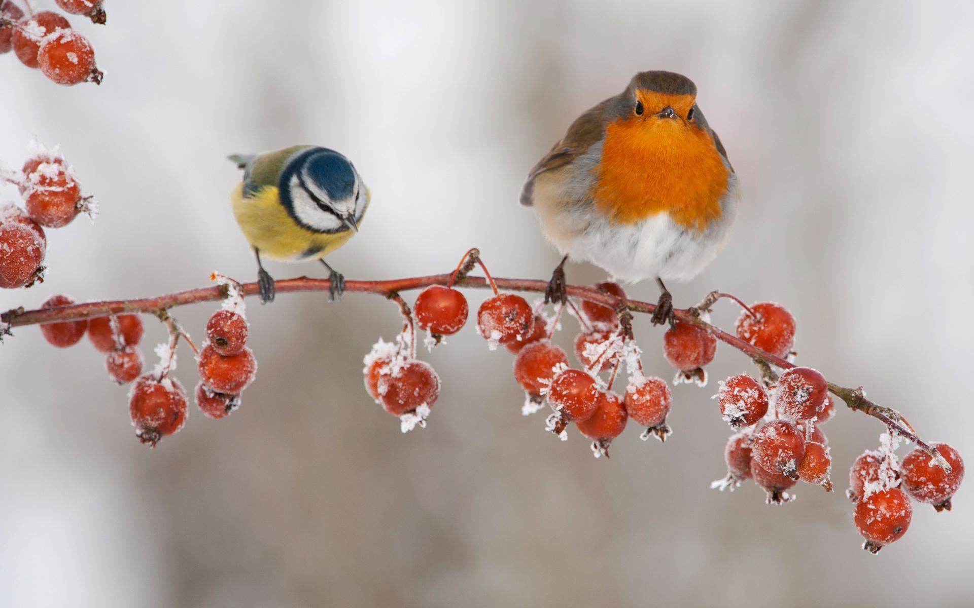 Открытки птицы на ветке зимой, открытка