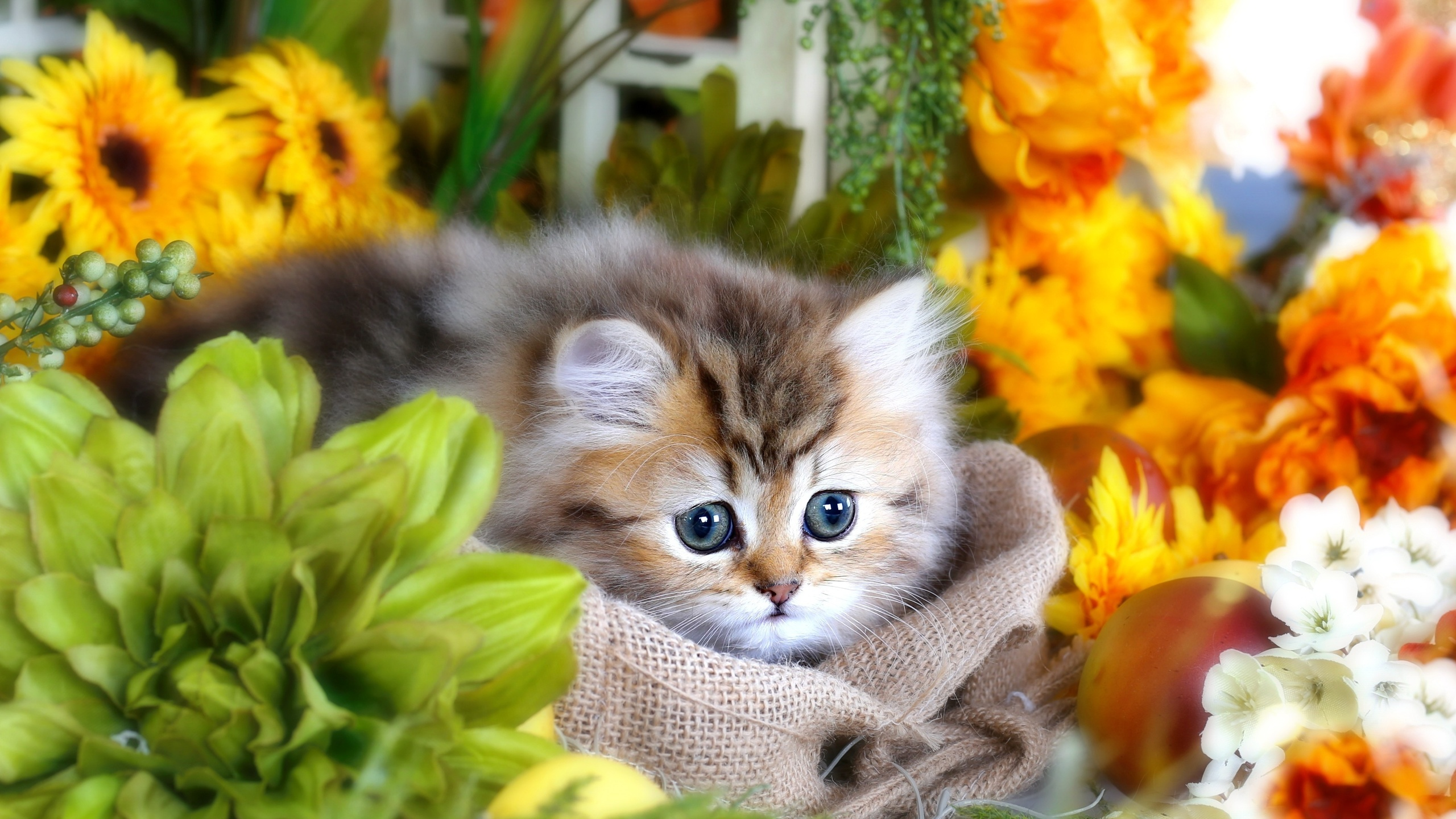 пушистый, серый, котенок