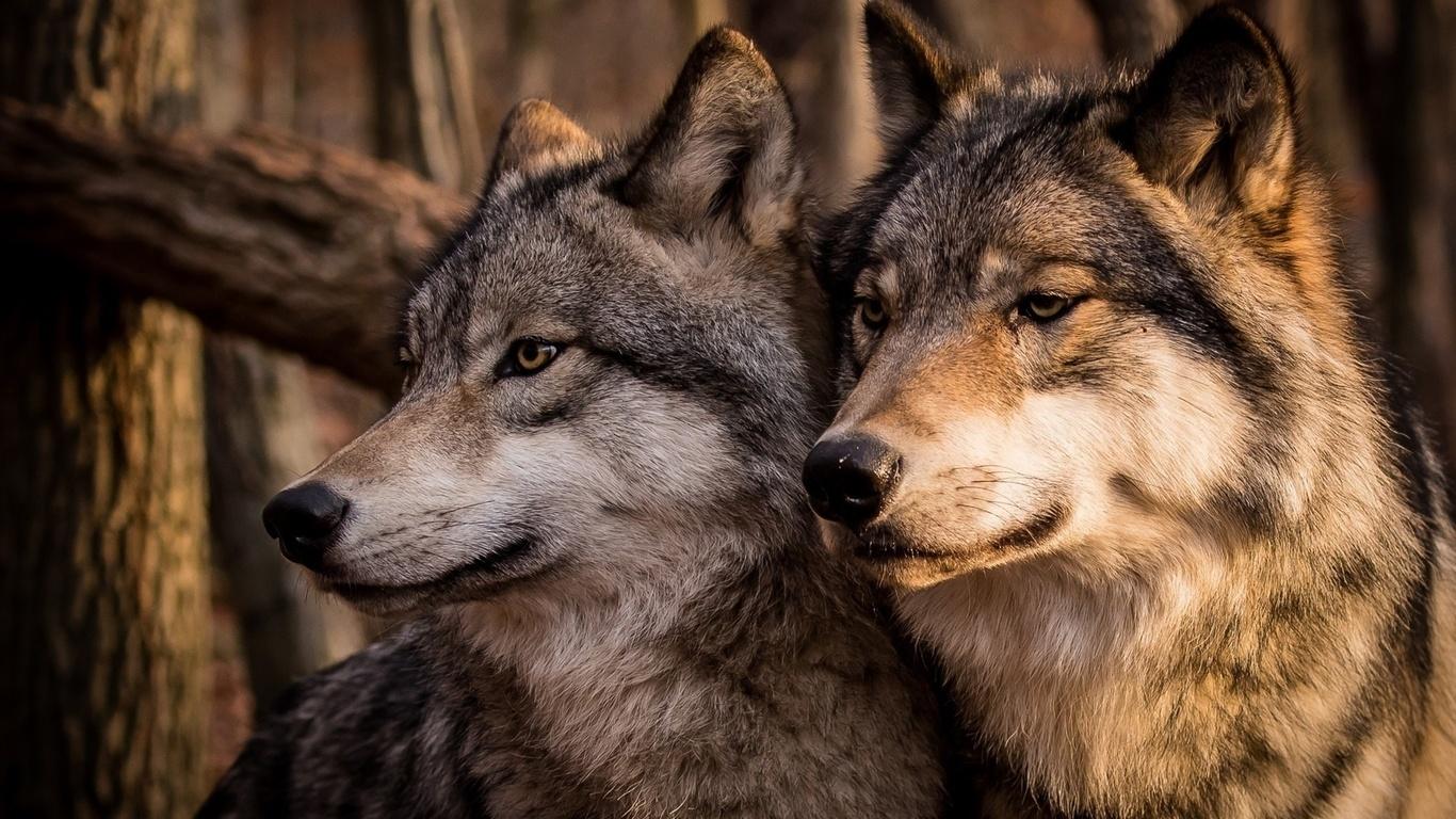волки, хищники, животные