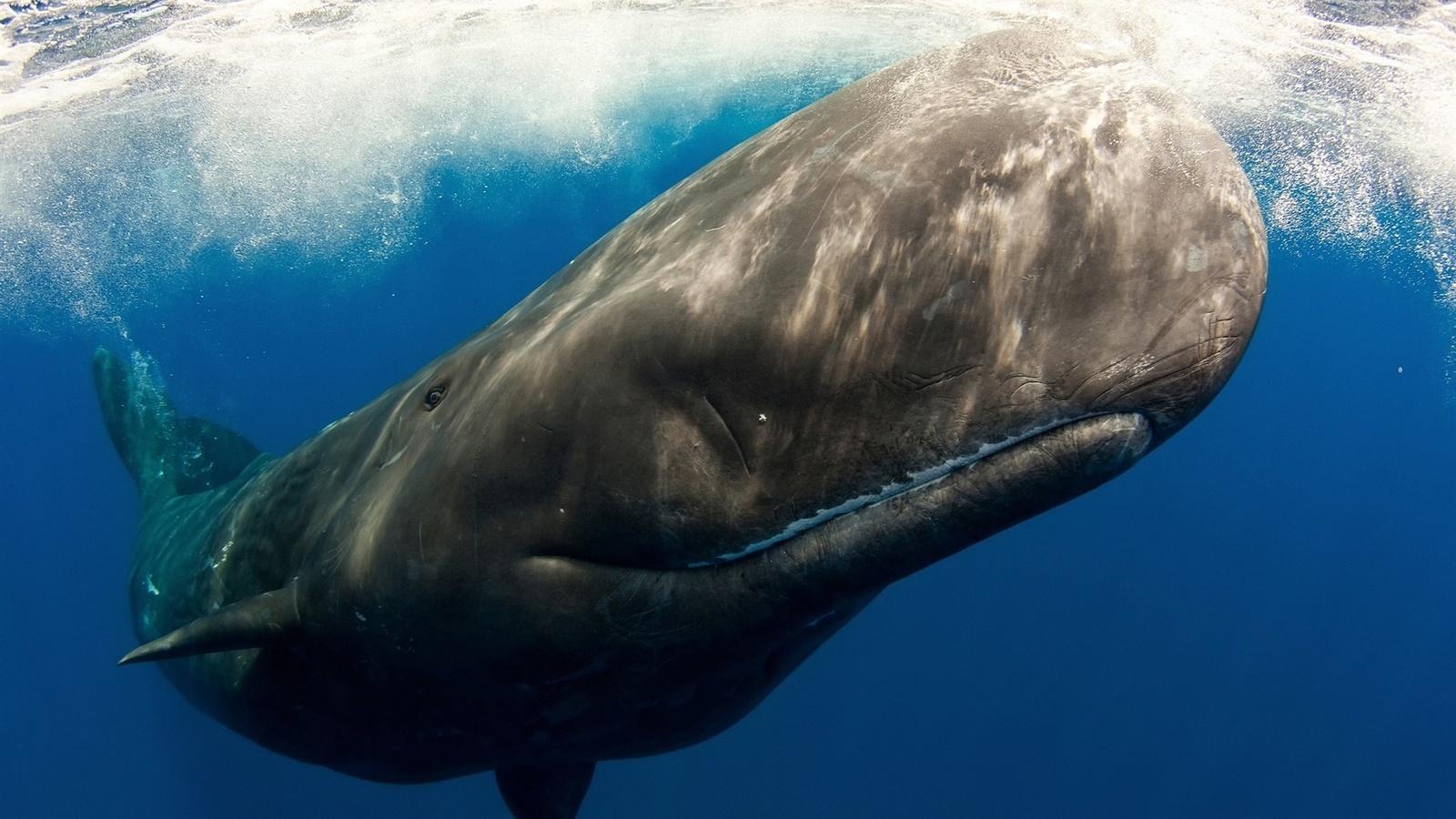кашалот, подводный мир