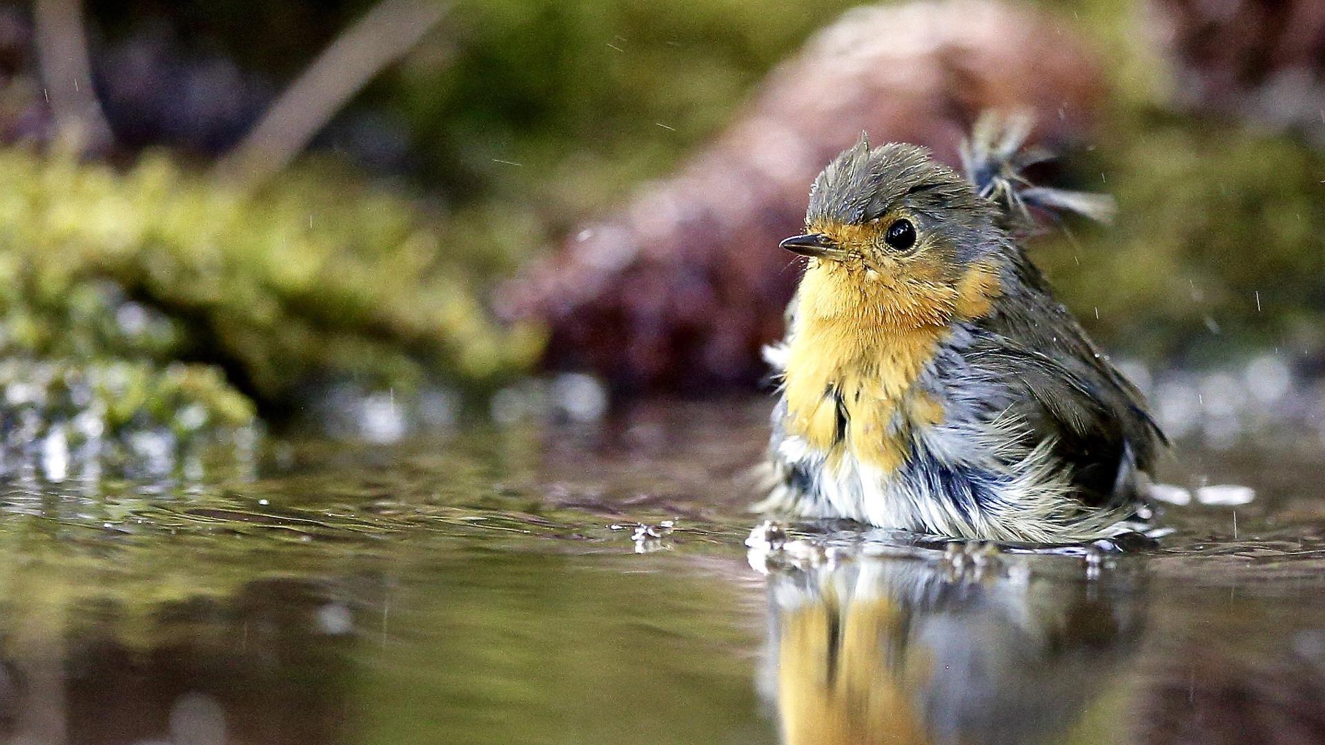 птица, вода, природа, купание, птицы мира, робин, зарянка, малиновка, реполов