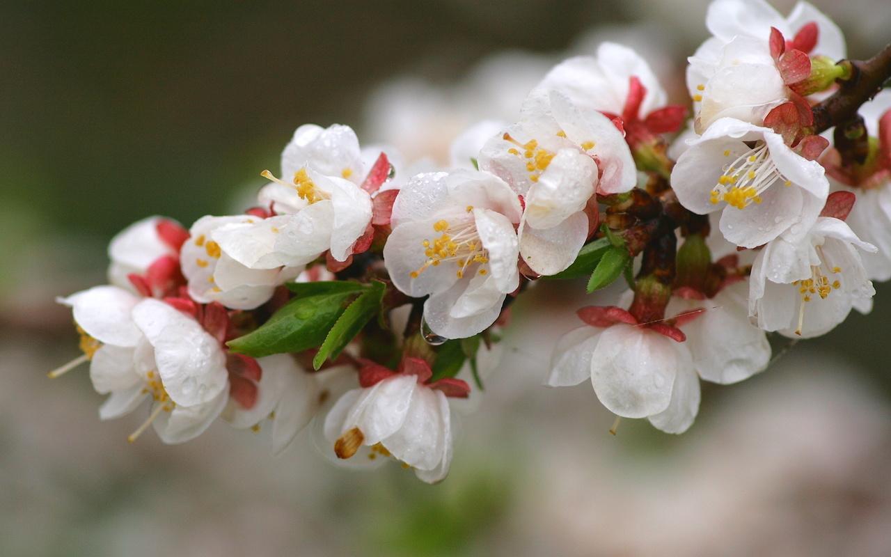 цветение, весна, персик
