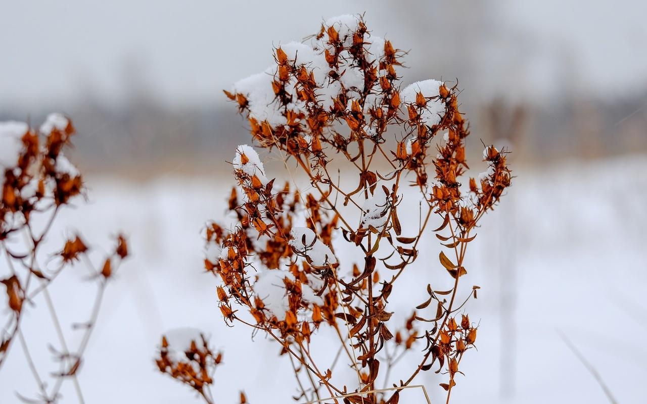 кустарник, снег, боке