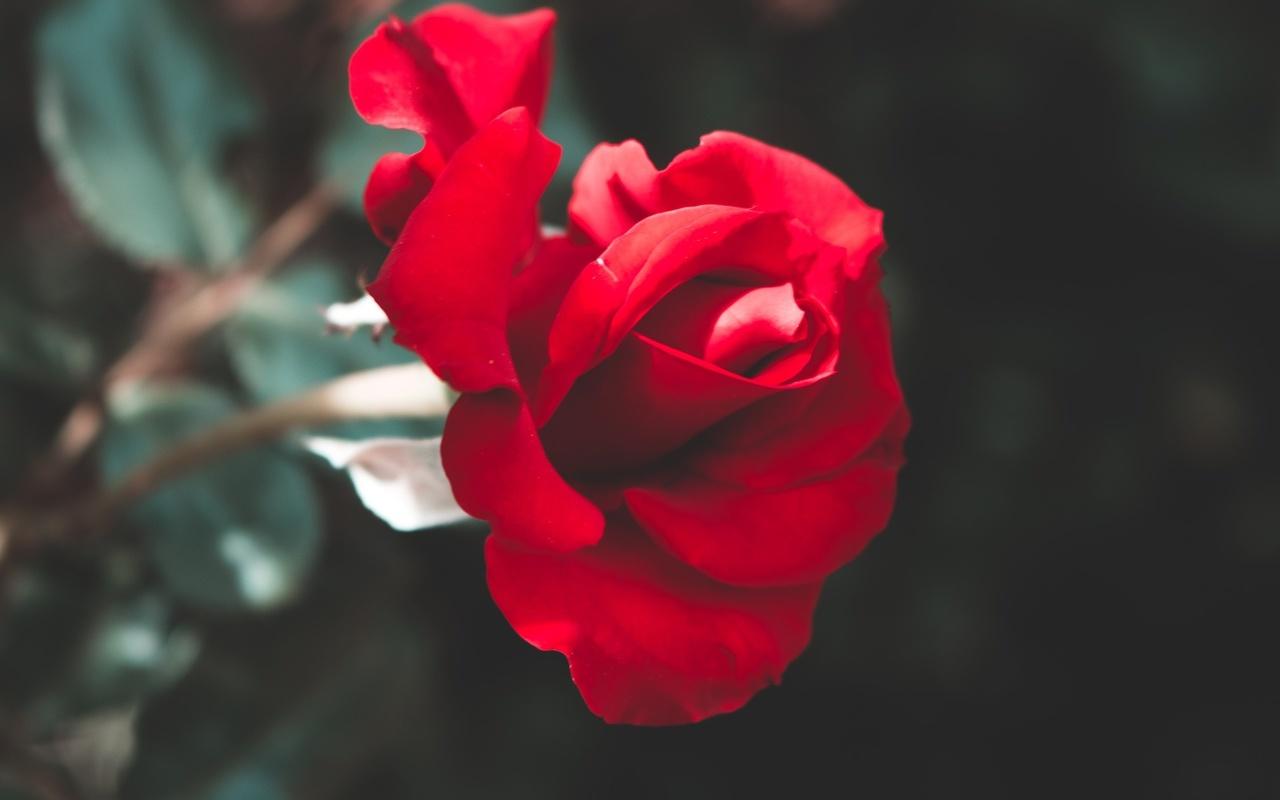 роза, макро, размытые, цветок