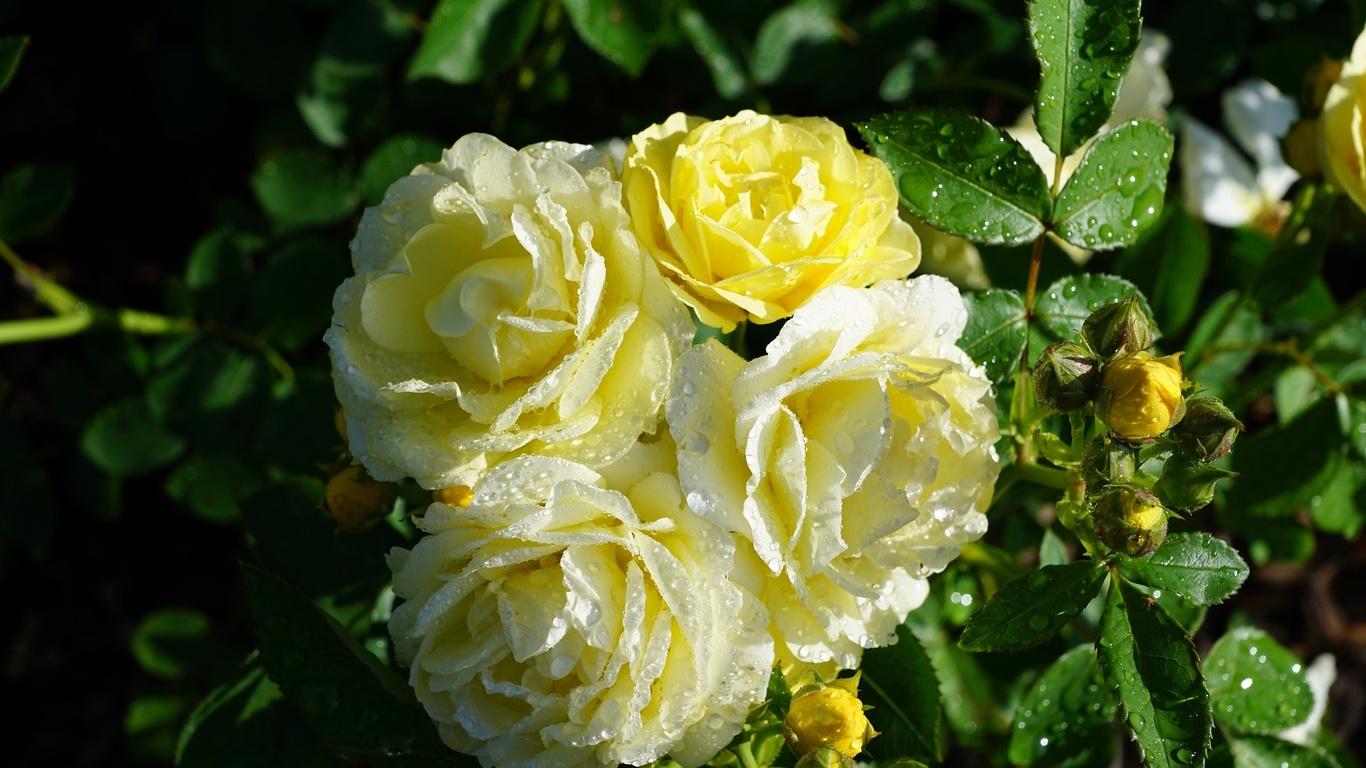 роза, макро, размытые
