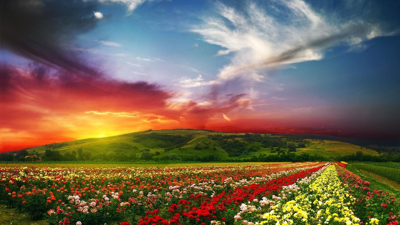 природа, пейзаж, холм, плантация, цветы, краски, небо, солнце, облака, долина, розы, лето, поля
