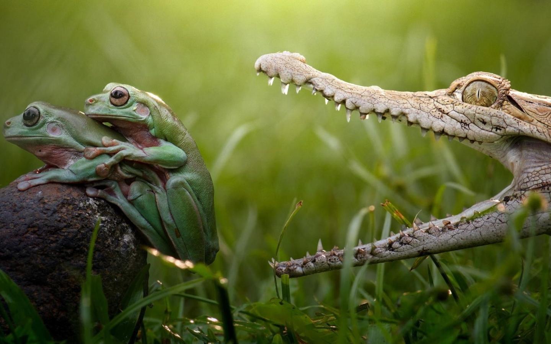 лягушки, ситуация, крокодил, трава, природа