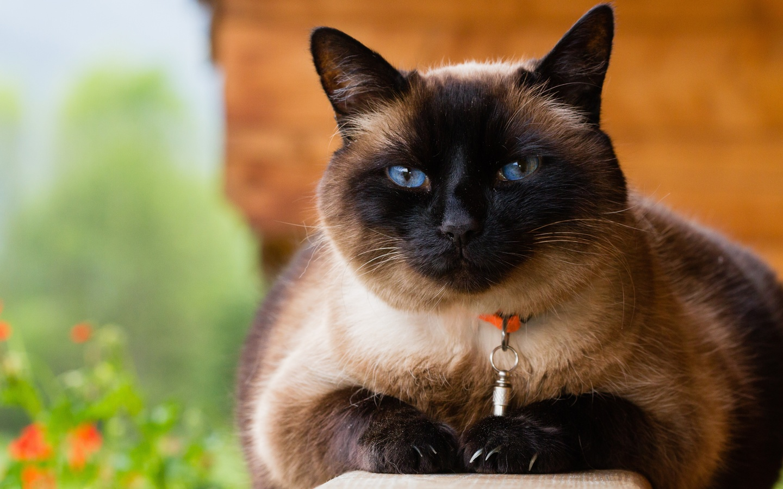 кошки, siamese, взгляд, животные
