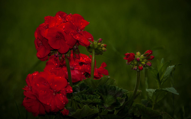 цветы, макро, вода, капли, фотограф hmetosche