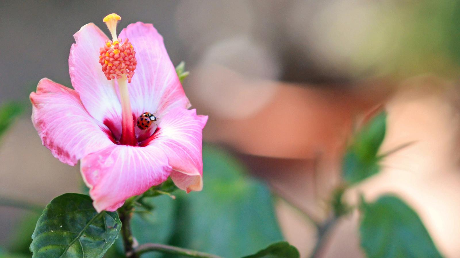 макро, цветок, гибискус, божья коровка, боке, пестик