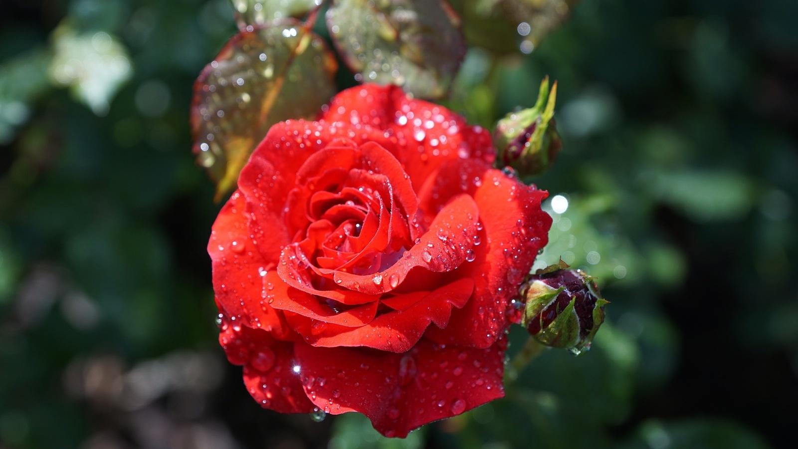 макро, роза, капли, вода, цветок, бутон