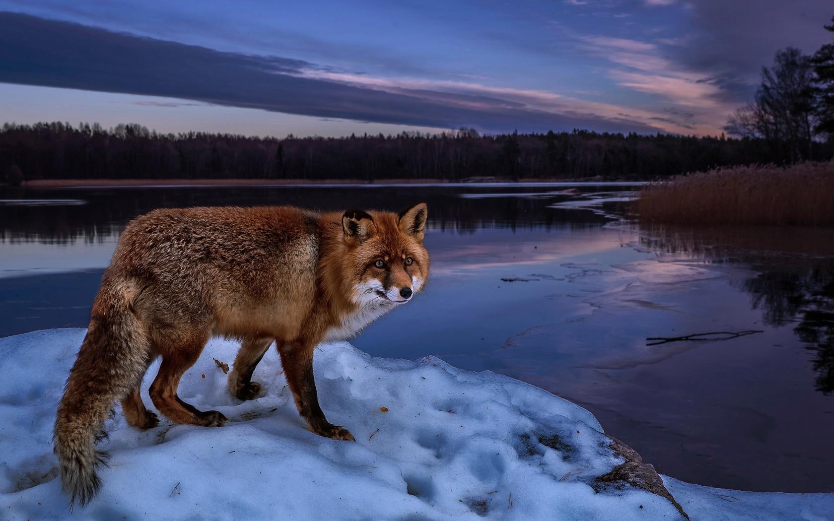 животное, лиса, лисица, природа, пейзаж, зима, река, лес, снег