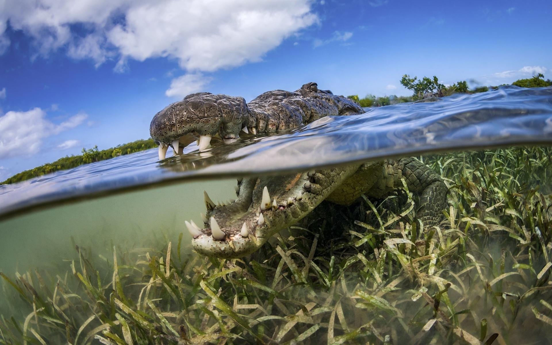 крокодил, рептилия, хищник, взгляд, фото, под водой